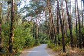 Curve Road In Forest. Deep Autumn Pine Forest poster