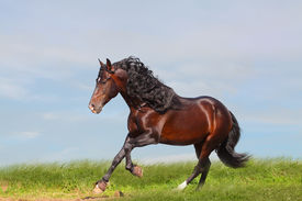 image of running horse  - andalusian stallion over a nice summer background - JPG