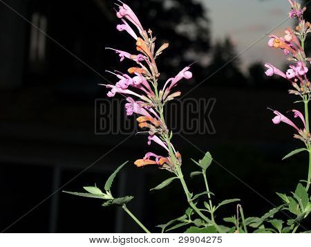 Agastache Acapulco Salmon & Pink