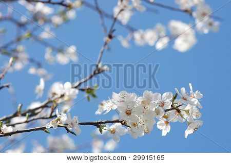 blossoms against blue sky (selective DOF), spring series B