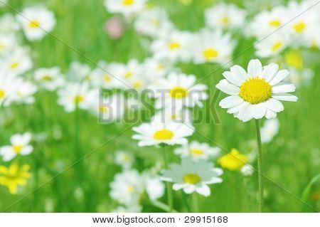 Margarida flores (seletiva DOF), Primavera série B
