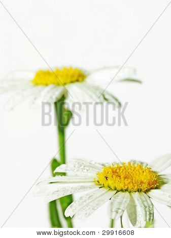 Margarida flores (DOF seletiva); série mola