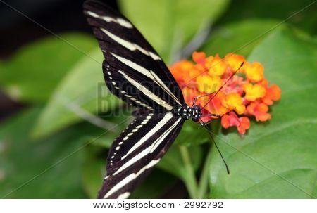 Zebra Longwing Butterly