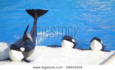 Three Orca Killer Whales Perform