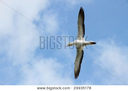 Gannet Flying Over Head