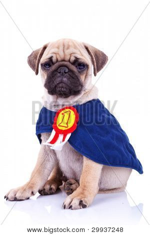 cute little pug puppy dog champion sitting on white background. seated mops puppy wearing a number one ribbon cape