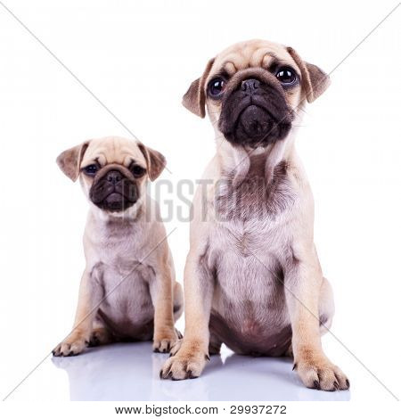pair of pug puppy dogs sitting on white background. cute and curious couple of mops puppies looking at the camera