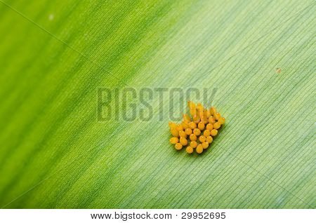 Ladybug Egg On Leaf