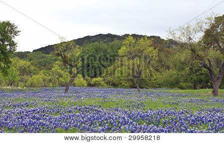 Bluebonnets With Trees And Hills