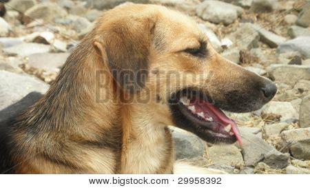 Cão fiel - amigo do homem