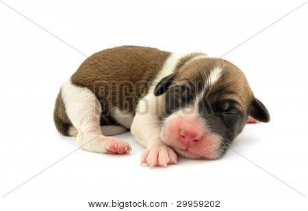 Pariah dog newborn puppy is sleeping