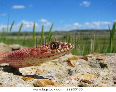 Coachwhip Snake Colorado