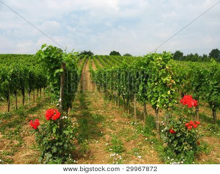 vineyards in burgenland, austria