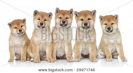 Shiba Inu cachorros retrato