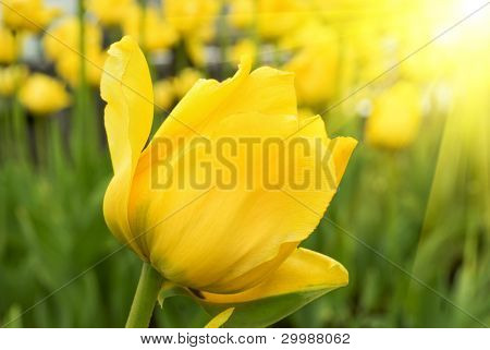 Beautiful spring yellow tulips