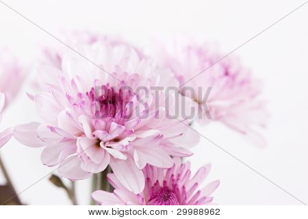 purple chrysanthemum flower closeup, soft focus