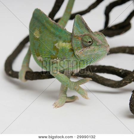 Chameleon on white background closeup