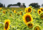 Scenic Rural Summer Landscape With Field Of Sunflowers In Shallow Depth Of Field And Silhouette Of F poster