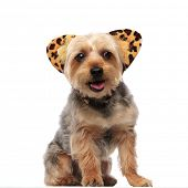 Picture of a Yorkshire Terrier panting and wearing a headband with feline ears on white studio backg poster