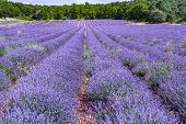 Lavender Of Provence, Summer Fields With Blossoming Purple Lavender Plants In Van De Sault, Vaucluse poster