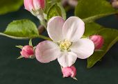 stock photo of apple blossom  - Closeup of an apple blossom and buds - JPG