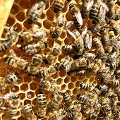 Winged Bee Slowly Flies To Honeycomb Collect Nectar For Honey On Private Apiary From Flowers. Honey  poster