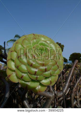 cactus succulent plant