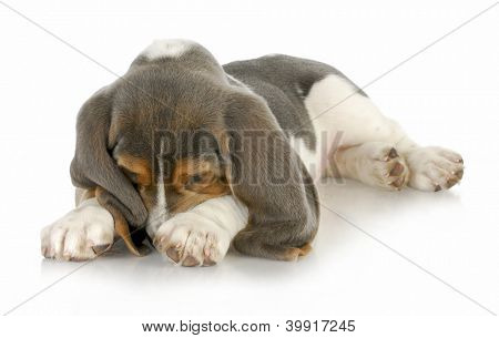 cute puppy - basset hound puppy burying his nose in paws with reflection on white background