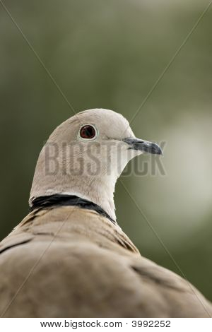 Dove Head