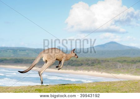 Canguros - Australia