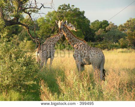 Giraffes In Botswana
