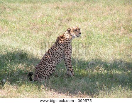 Cheetah In Botswana