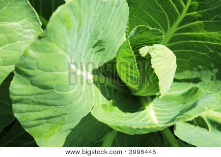Young Head Of Cabbage
