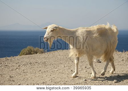 Goat and sea