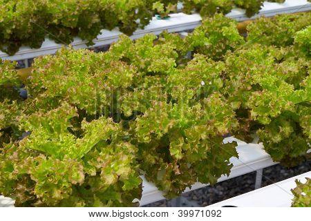 Hydrophonic plantation, lettuce