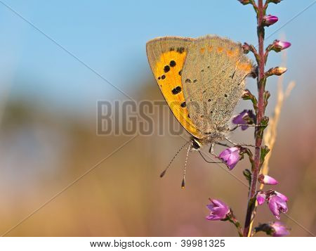 Small Copper Butterfly, Lycaena Phlaeas