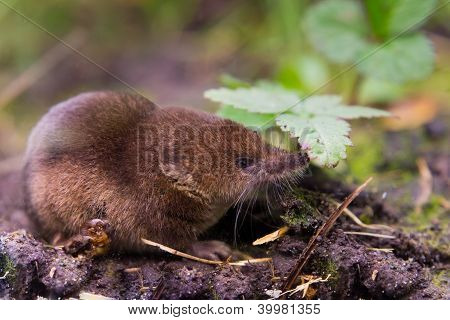 Common Shrew (sorex Araneus) Close Up