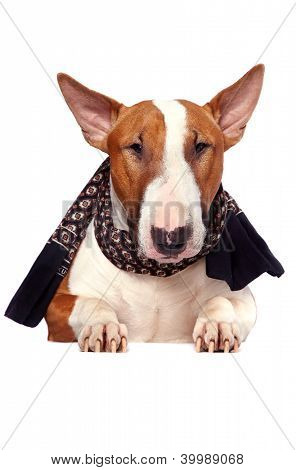 Portrait Of A Bull Terrier In A Scarf