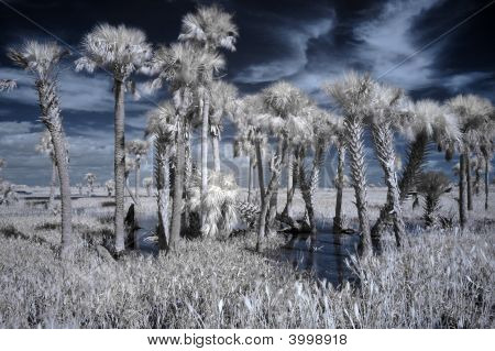 Infrared Palm Trees