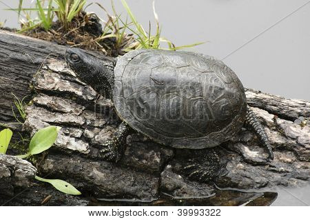 European Pond Terrapin