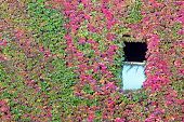 image of english ivy  - Open Window with Ivy Wall - JPG