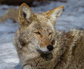 pic of coyote  - Close up view of a coyote in Yosemite National Park - JPG
