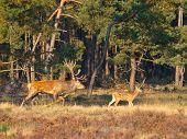 picture of cervus elaphus  - Male red deer  - JPG