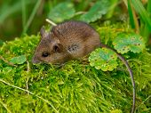 picture of field mouse  - Wood mouse sitting in green moss on a log - JPG