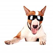 stock photo of sunbathing  - Cheerful bull terrier in sunglasses on a white background - JPG