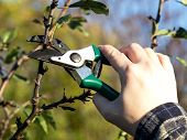pic of prunes  - pruning branches of apple tree in the spring - JPG