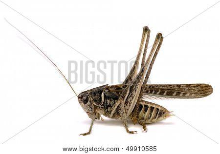 Grasshopper (decticus verrucivorus) isolated on white
