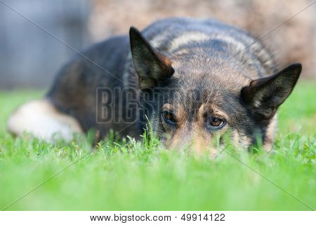 Offended Expression Dog Lying On Grass
