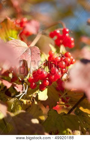 Red berries of viburnum with leaves