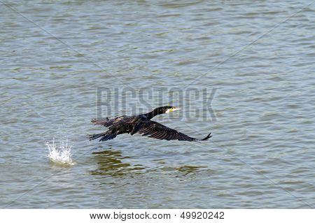 Great Cormoran Flying Over Danube River